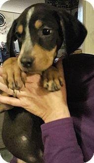 Hound (Unknown Type)/Boxer Mix Puppy for adoption in Williamsburg, Virginia - BEN