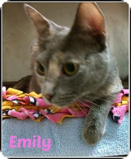 Domestic Shorthair Cat for adoption in Muskegon, Michigan - emily
