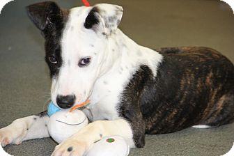 Pit Bull Terrier Mix Puppy for adoption in Greensboro, North Carolina - Melanie