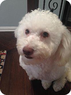 Miniature Poodle Mix Dog for adoption in Carlsbad, California - Thomas