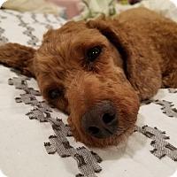 Adopt A Pet :: THOR - La Mirada, CA
