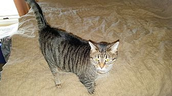 Domestic Shorthair Cat for adoption in White Settlement, Texas - Macy's Little Grey aka Tiger