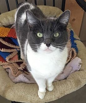 Domestic Shorthair Cat for adoption in Temecula, California - Katie
