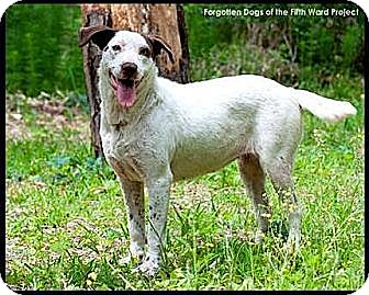Brittany/Pointer Mix Dog for adoption in Houston, Texas - Britni