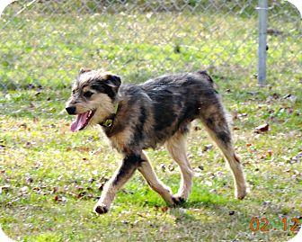 Australian Shepherd/Great Pyrenees Mix Dog for adoption in Dublin, Georgia - Max