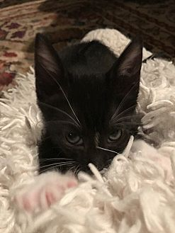 Domestic Shorthair Kitten for adoption in Tampa, Florida - Winifred