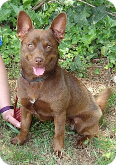Basenji/Pomeranian Mix Dog for adoption in SUSSEX, New Jersey - Izzy (17 lb) Great Family Pet