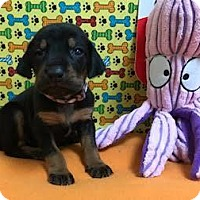 Adopt A Pet :: Schnucky pink & purple - Valparaiso, IN