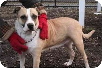 American Pit Bull Terrier Mix Dog for adoption in Islip, New York - Georgette