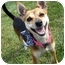 Photo 3 - Basenji/Terrier (Unknown Type, Small) Mix Dog for adoption in Overland Park, Kansas - J.J.