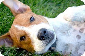Hound (Unknown Type)/Labrador Retriever Mix Dog for adoption in Westport, Connecticut - *Trooper - PENDING