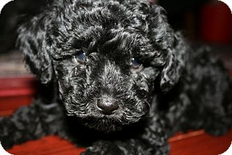 Poodle (Toy or Tea Cup) Puppy for adoption in Van Nuys, California - Joey