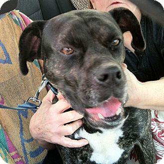 Boxer Mix Dog for adoption in McCormick, South Carolina - Kudo