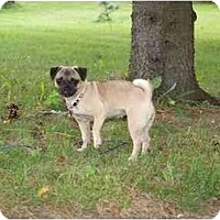 Adopt A Pet :: Ivy-PUGGLE - Toronto/Etobicoke/GTA, ON