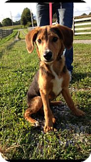 Setter (Unknown Type)/Coonhound (Unknown Type) Mix Puppy for adoption in Rochester, New Hampshire - Dax