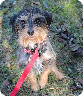 Yorkie, Yorkshire Terrier/Chihuahua Mix Dog for adoption in Hagerstown, Maryland - Fennel