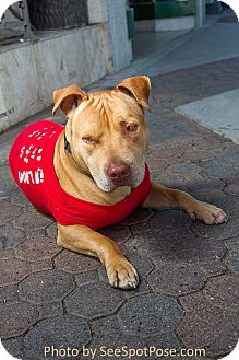 American Pit Bull Terrier/Shar Pei Mix Dog for adoption in Ojai, California - COSMO
