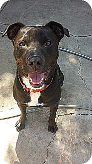 Labrador Retriever/Pit Bull Terrier Mix Dog for adoption in Los Angeles, California - Hudson