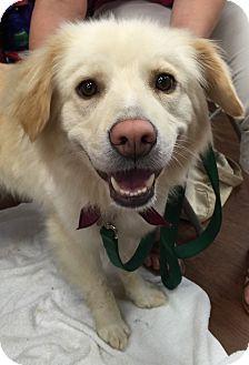 Golden Retriever Mix Dog for adoption in BIRMINGHAM, Alabama - Violet