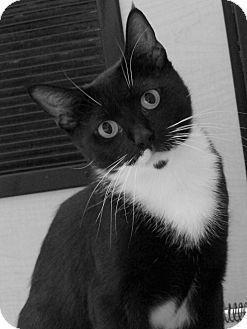Domestic Shorthair Cat for adoption in Carlisle, Pennsylvania - Courtney