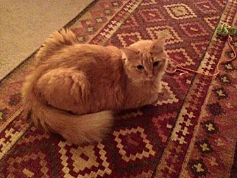 Domestic Mediumhair Cat for adoption in Garwood, New Jersey - Gypsy