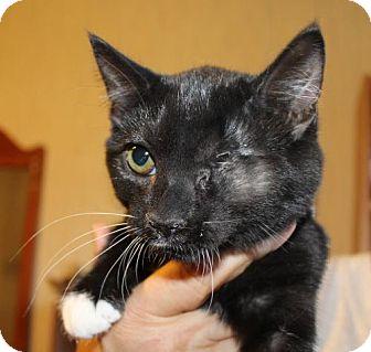Domestic Mediumhair Kitten for adoption in Rustburg, Virginia - Lotus-Fostered