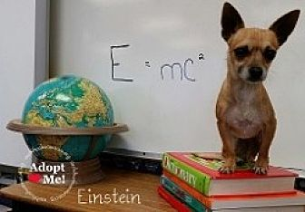 Chihuahua Mix Dog for adoption in Mesa, Arizona - Einstein