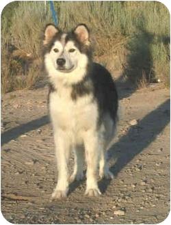 Siberian Husky Dog for adoption in Southern California, California - Cherokee