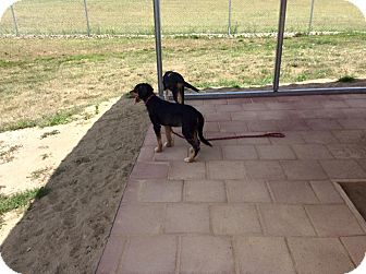 Australian Shepherd/Labrador Retriever Mix Puppy for adoption in Mechanicsburg, Ohio - Pike