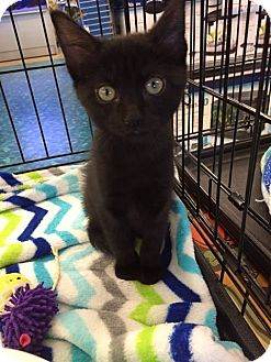 Domestic Mediumhair Cat for adoption in Mansfield, Texas - Licorice