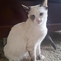 Siamese Cat for adoption in Austin, Texas - Lilly III