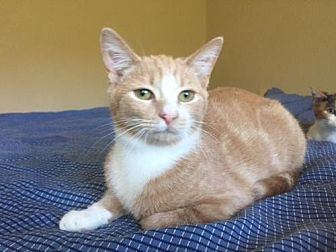 Domestic Shorthair Kitten for adoption in Columbia, South Carolina - Sully