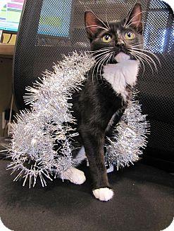 Domestic Shorthair Kitten for adoption in Morristown, New Jersey - Jingle
