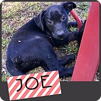 Adopt A Pet :: Joe-pending adoption - Manchester, CT