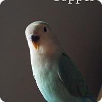 Adopt A Pet :: Topper - St. Louis, MO