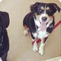 Adopt A Pet :: Bella (COURTESY POST) - Baltimore, MD