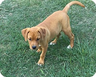 Hound (Unknown Type)/Terrier (Unknown Type, Medium) Mix Puppy for adoption in Blountstown, Florida - Renegade