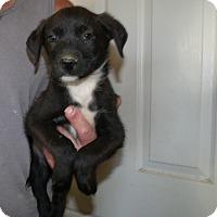 Adopt A Pet :: THE DIEGO PUPS A - Corona, CA