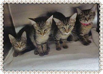 Manx Kitten for adoption in Marietta, Georgia - AURELIA AGNES ALAN and AMANDA