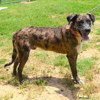 Adopt A Pet :: Darby - Cabot, AR