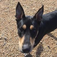 Adopt A Pet :: Dutch (Parker) - Fairfax Station, VA