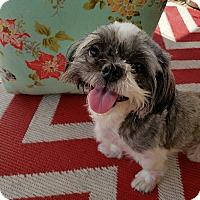 Adopt A Pet :: Doodle - San Antonio, TX