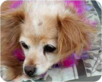 Pomeranian/Chihuahua Mix Dog for adoption in Kokomo, Indiana - Patti Jean