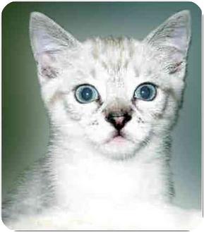 Siamese Kitten for adoption in San Clemente, California - WOODSTOCK