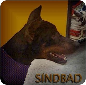 Doberman Pinscher Dog for adoption in Green Cove Springs, Florida - Sindbad