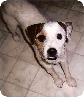 Jack Russell Terrier Dog for adoption in Houston, Texas - Buddy in Houston