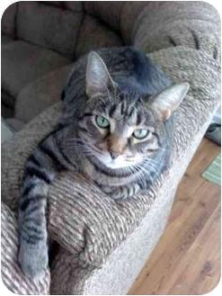 Domestic Shorthair Cat for adoption in Jacksonville, North Carolina - Hobo