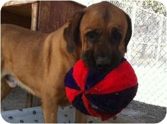 English Mastiff/Anatolian Shepherd Mix Dog for adoption in San Fernando Valley, California - Antoine Moses