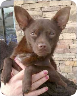 Chihuahua Mix Puppy for adoption in Rolling Hills Estates, California - Ed