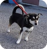 Chihuahua/Spitz (Unknown Type, Small) Mix Dog for adoption in Foster, Rhode Island - Bowie-URGENT!